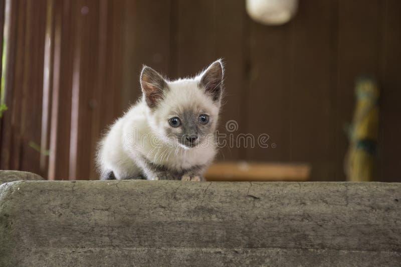 Siamese Shorthair cat is walking on the asphalt. Blue eyed little domestic kitten. Village pet. Creamy fur. Grey background.  royalty free stock images