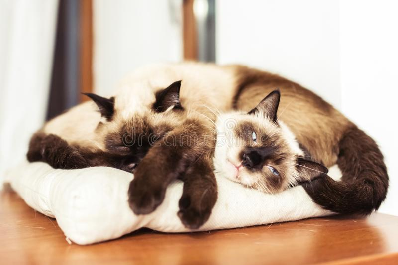 Siamese siblings cats sleeping. Together on a pillow stock photo