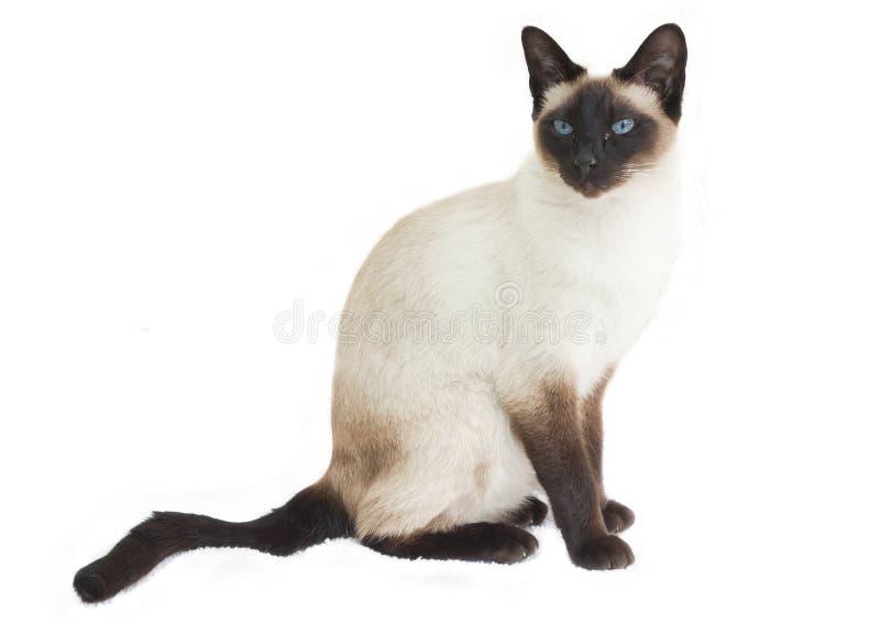 siamese sitting för katt royaltyfri fotografi