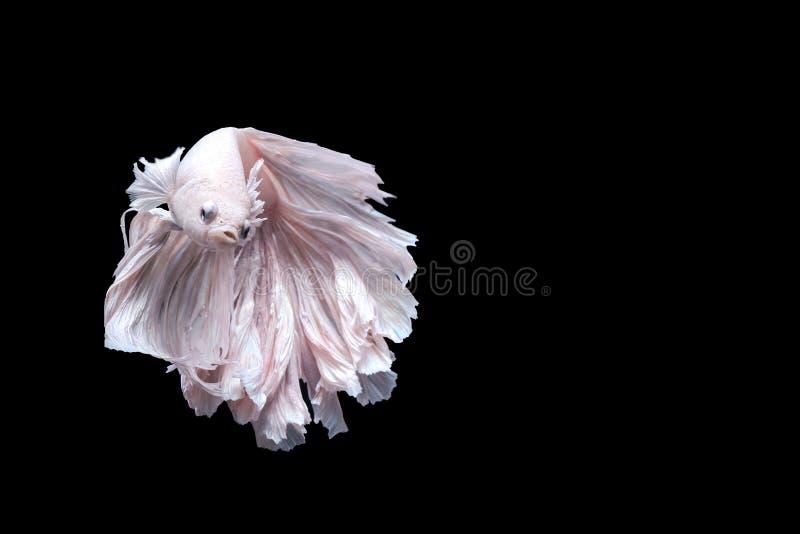 Siamese stridighetfisk, betta som isoleras arkivfoton