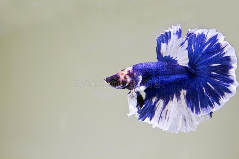 Siamese stridighetfisk, bettasplendens (Halfmoonbettaen) royaltyfri foto