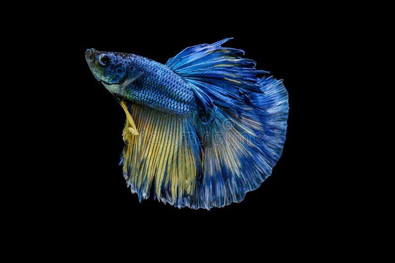 Siamese stridighetfisk eller Betta fisk royaltyfri bild
