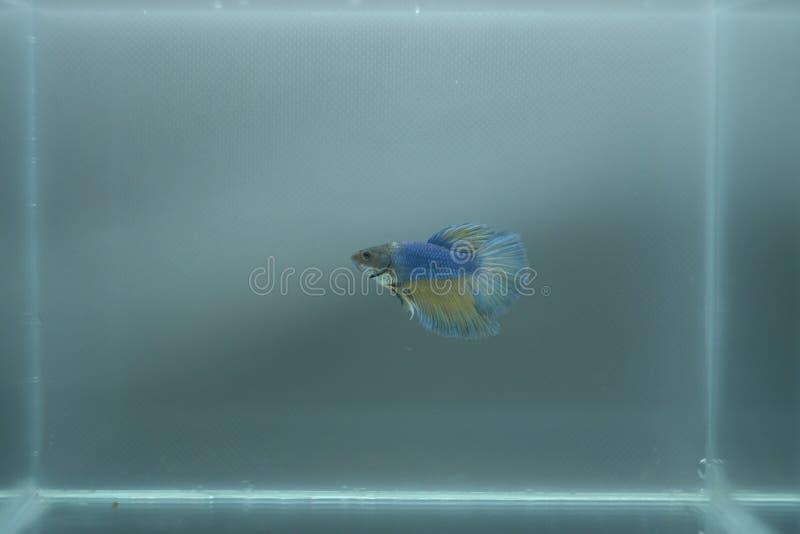 Siamese stridighetfisk för Halfmoon - Betta Splendens Blue Yellow fotografering för bildbyråer