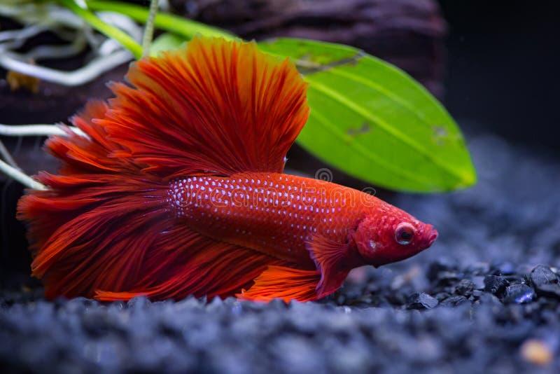 Siamese stridighetfisk för röd halvmåne i en fiskbehållare royaltyfria bilder