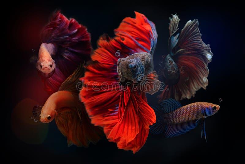 Siamese stridighetfisk på svart bakgrund royaltyfri foto