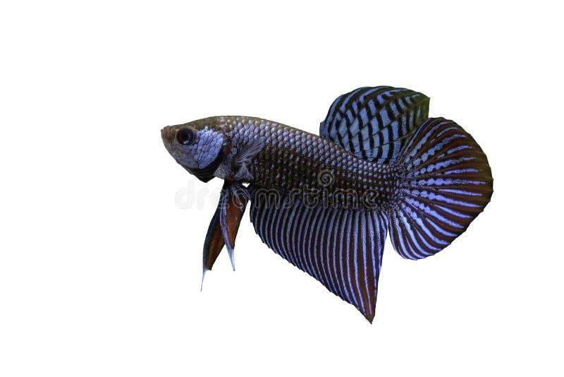 Siamese stridighetfisk som isoleras med vit bakgrund och den snabba banan arkivbilder