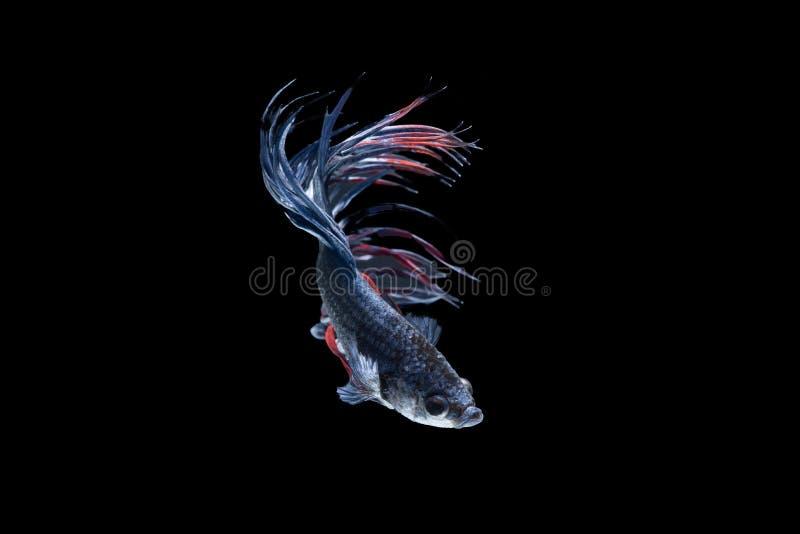 Siamese stridighetfisk som Svart-Blått-är röd, bettafisk på svart tillbaka royaltyfria bilder