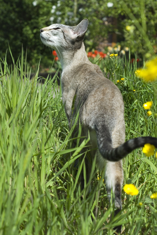 Siamese tabby point cat. In nature stock photo
