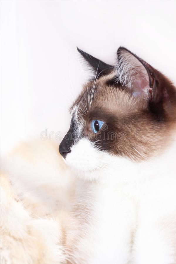 Siamese  thai  cat sitting on a fur rug for pets, isolated on the white background stock images