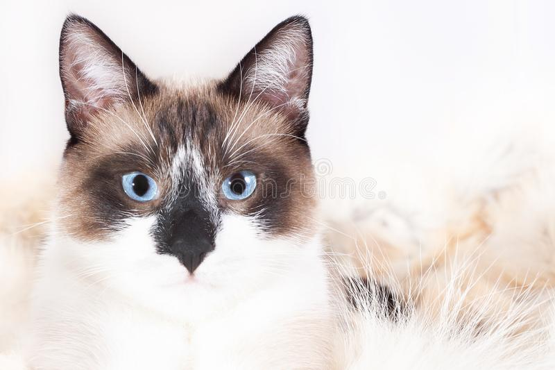 Siamese  thai  cat sitting on a fur rug for pets, isolated on the white background stock photos