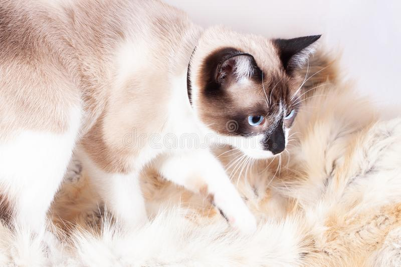 Siamese  thai  cat sitting on a fur rug for pets, isolated on the white background royalty free stock images