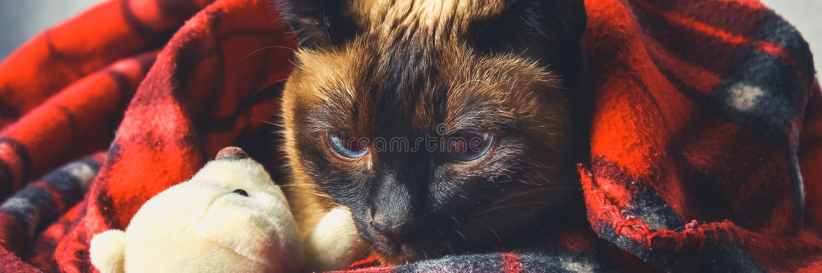 The Siamese Thai cat is wrapped in a plaid with a soft toy. The concept of autumn, winter, cold. Waiting for heating, heat. The Siamese Thai cat is wrapped in a stock images