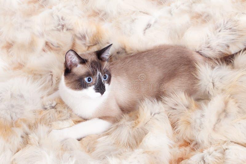Siamese thai katt som sitter på en pälsfilt för husdjur, på den vita bakgrunden arkivbilder