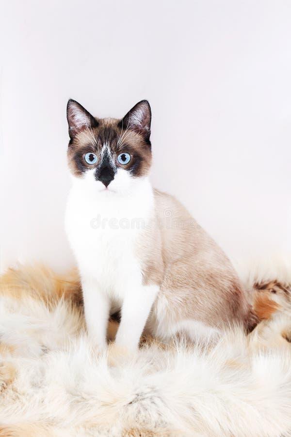 Siamese thai katt som sitter på en pälsfilt för husdjur som isoleras på den vita bakgrunden royaltyfri fotografi