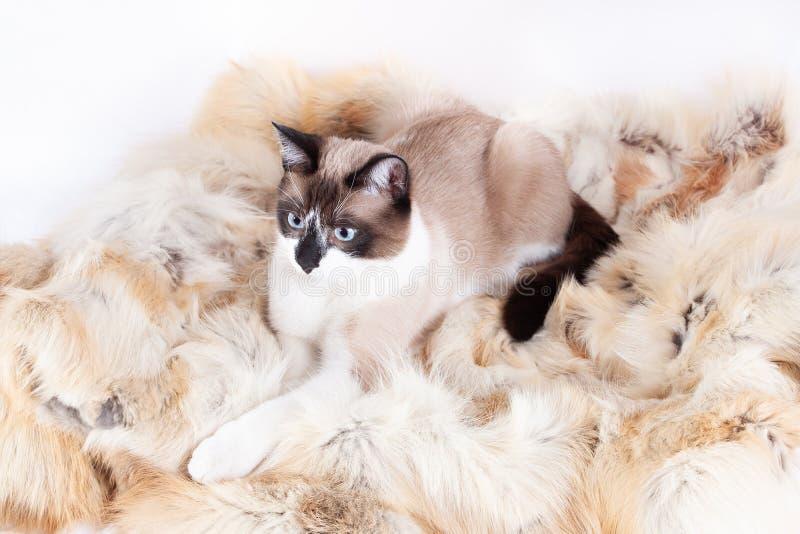 Siamese thai katt som sitter på en pälsfilt för husdjur som isoleras på den vita bakgrunden arkivfoto