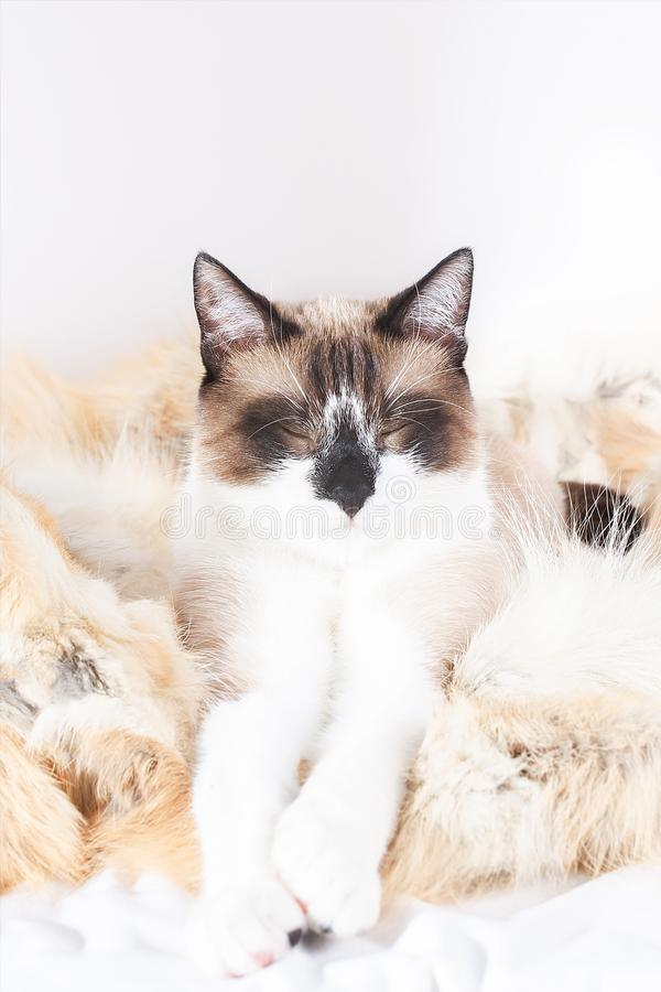 Siamese thai katt som sitter på en pälsfilt för husdjur som isoleras på den vita bakgrunden arkivbild