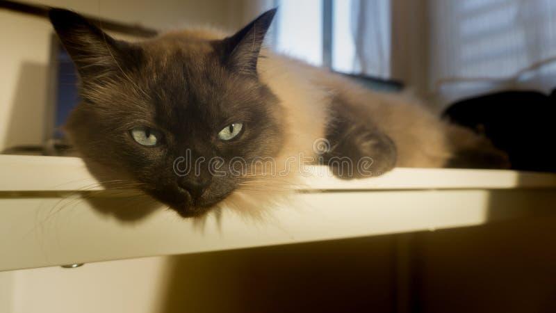 Siamese Thaise bruine kat legt op lijst royalty-vrije stock afbeeldingen