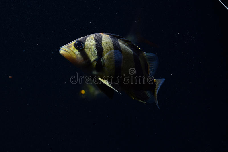 SIAMESE TIGER FISH stock images