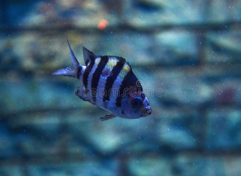 Siamese Tigerfish stock fotografie