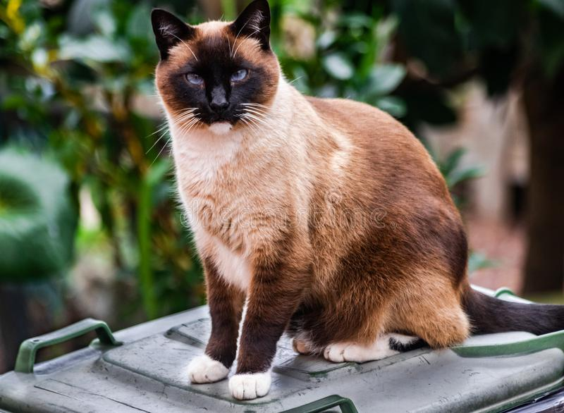Siamese tricolor cat, sitting on waste bin. Looking very friendly, with green vegetation background stock images