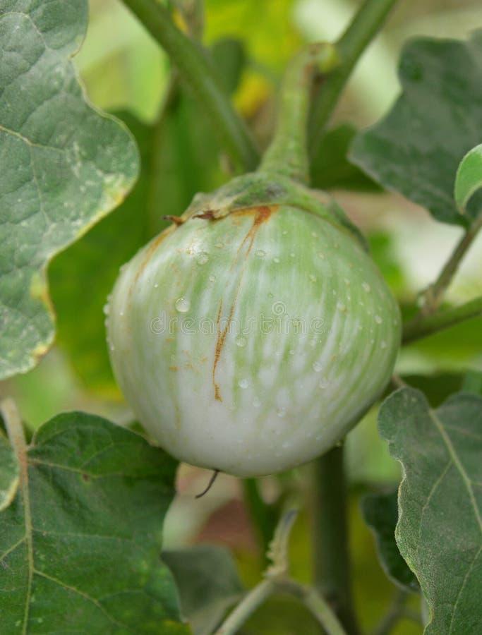Siamesische grüne Aubergine stockfotografie