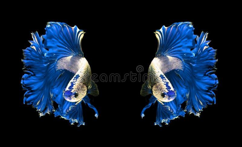 Siamesische kämpfende Fische der blauen Drachepaare, betta Fische an lokalisiert stockfoto