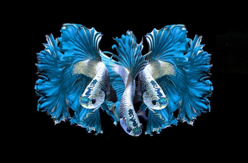Siamesische kämpfende Fische des blauen Drachen, betta Fische auf Schwarzem stockfotografie