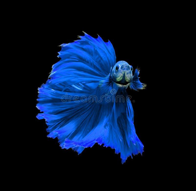 Siamesische kämpfende Fische des blauen Drachen, betta Fische lokalisiert auf Schwarzem lizenzfreies stockfoto