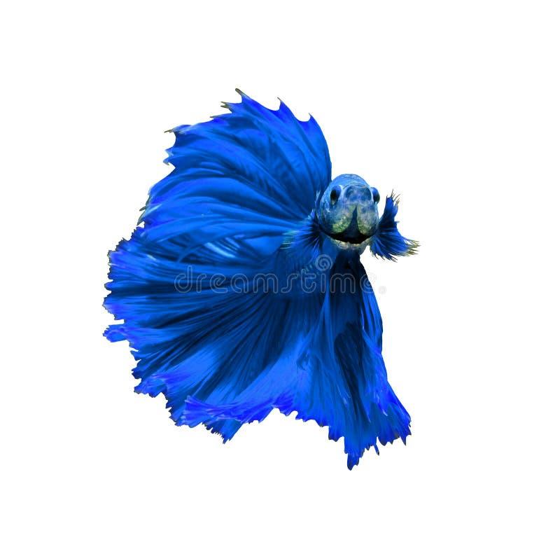 Siamesische kämpfende Fische des blauen Drachen, betta Fische lokalisiert auf Weiß lizenzfreies stockbild