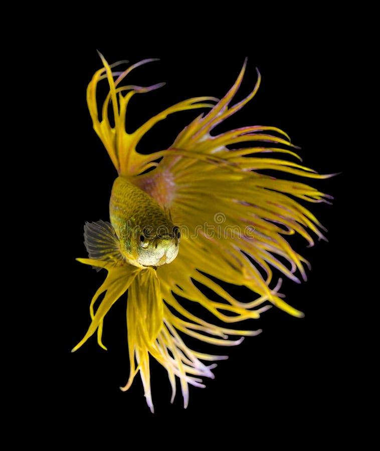 Siamesische kämpfende Fische des gelben Drachen, betta Fische lokalisiert auf blac stockbild