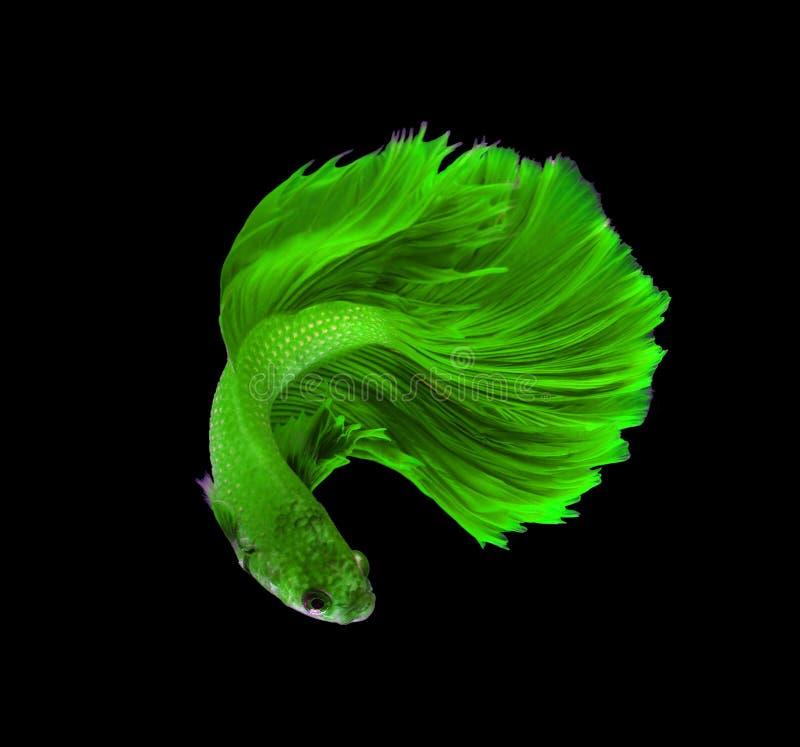 Siamesische kämpfende Fische des grünen Drachen, betta Fische lokalisiert auf Schwarzem stockfotografie