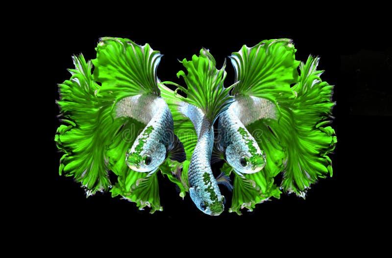 Siamesische kämpfende Fische des grünen Drachen, betta Fische lokalisiert auf Schwarzem stockbild