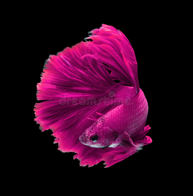 Siamesische kämpfende Fische des rosa Drachen, betta Fische lokalisiert auf Schwarzem stockbilder