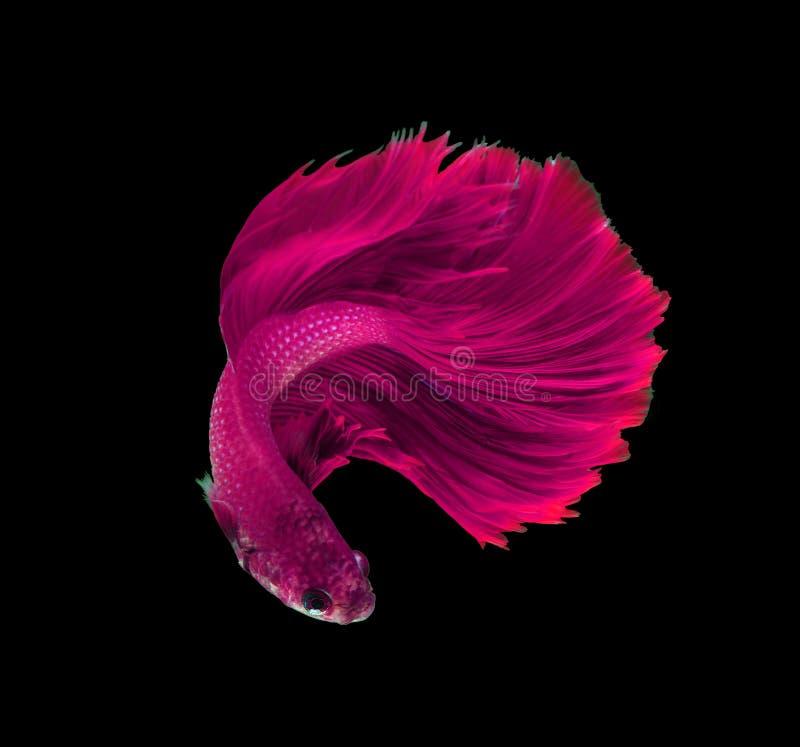 Siamesische kämpfende Fische des rosa Drachen, betta Fische lokalisiert auf Schwarzem lizenzfreie stockfotos