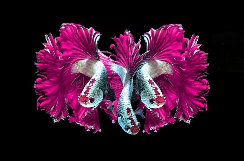 Siamesische kämpfende Fische des rosa Drachen, betta Fische lokalisiert auf Schwarzem lizenzfreie stockbilder