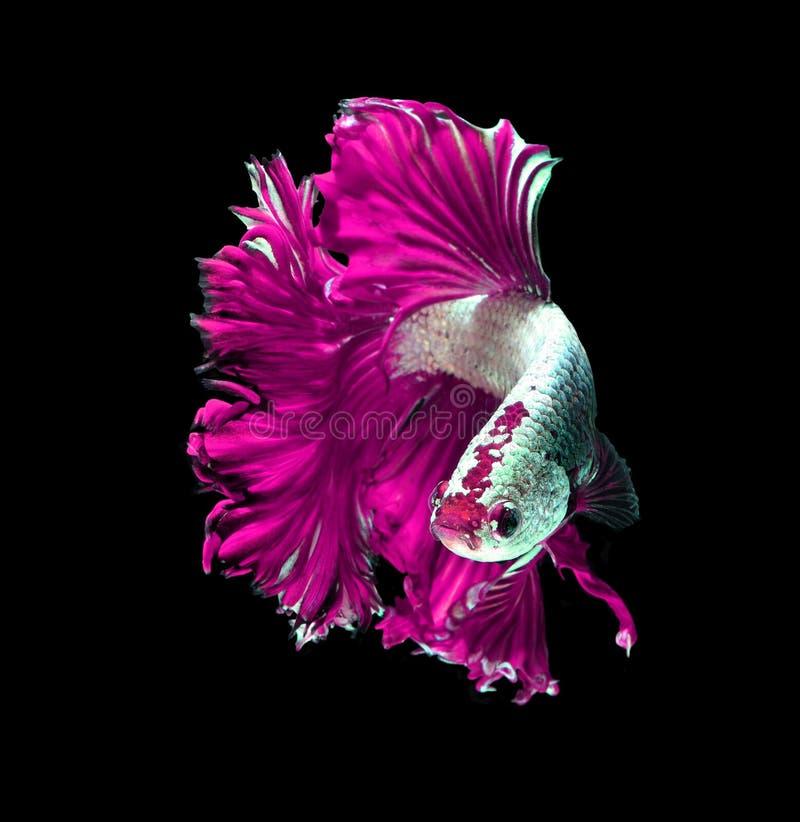 Siamesische kämpfende Fische des rosa Drachen, betta Fische lokalisiert auf Schwarzem stockfotografie