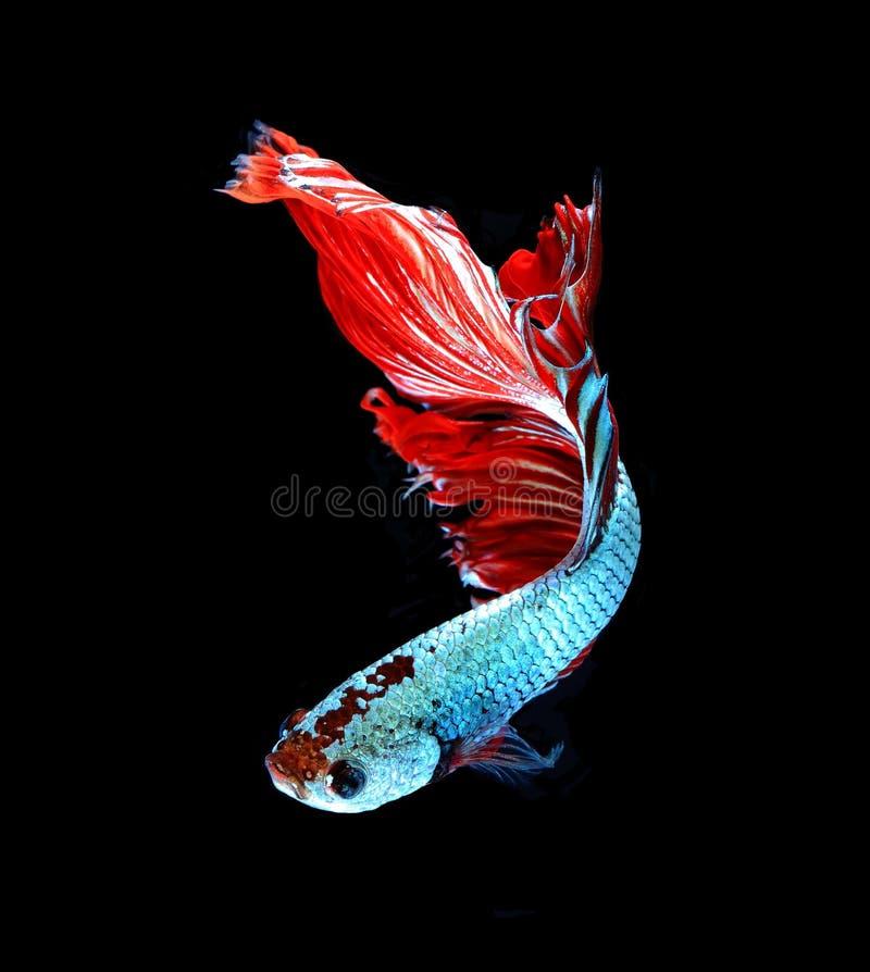 Siamesische kämpfende Fische des roten Drachen, betta Fische lokalisiert auf schwarzem b stockfoto
