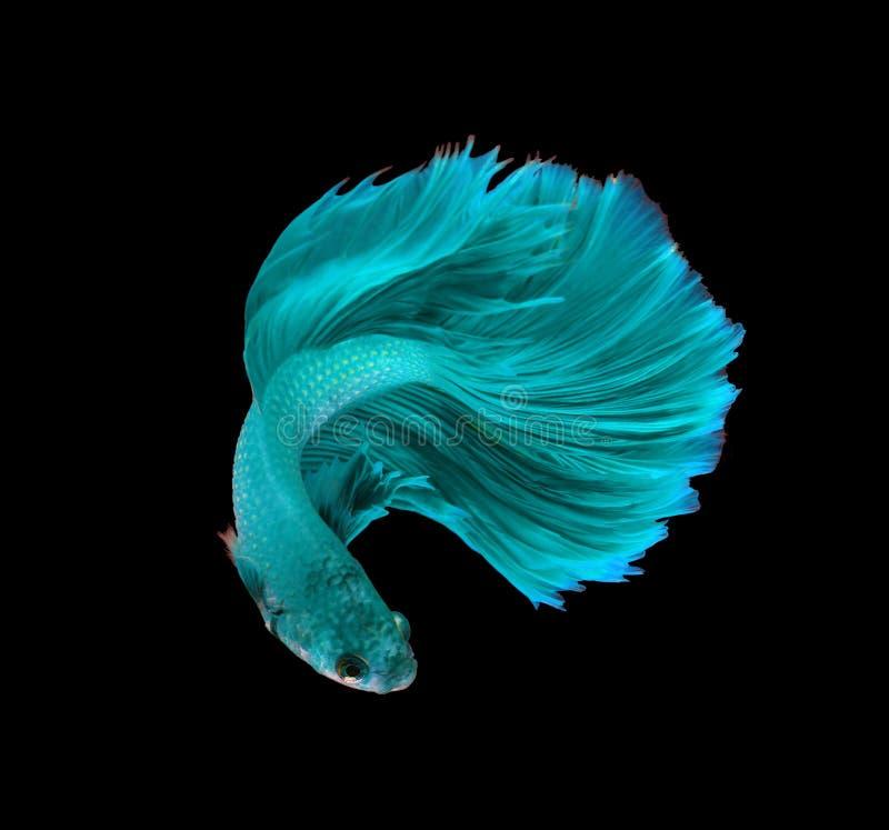 Siamesische kämpfende Fische des Türkisdrachen, betta Fische lokalisiert auf b stockbild