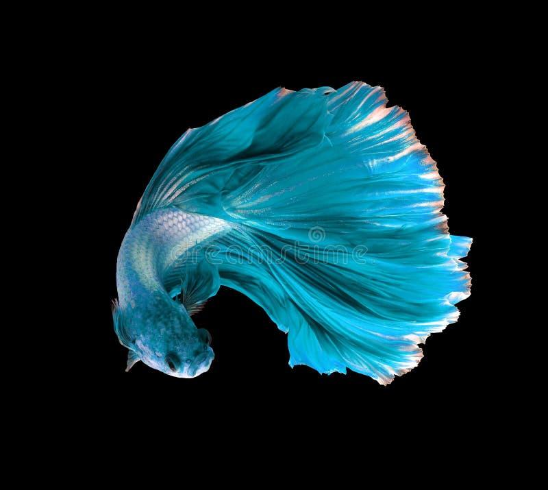 Siamesische kämpfende Fische des Türkisdrachen, betta Fische lokalisiert auf b stockfotos
