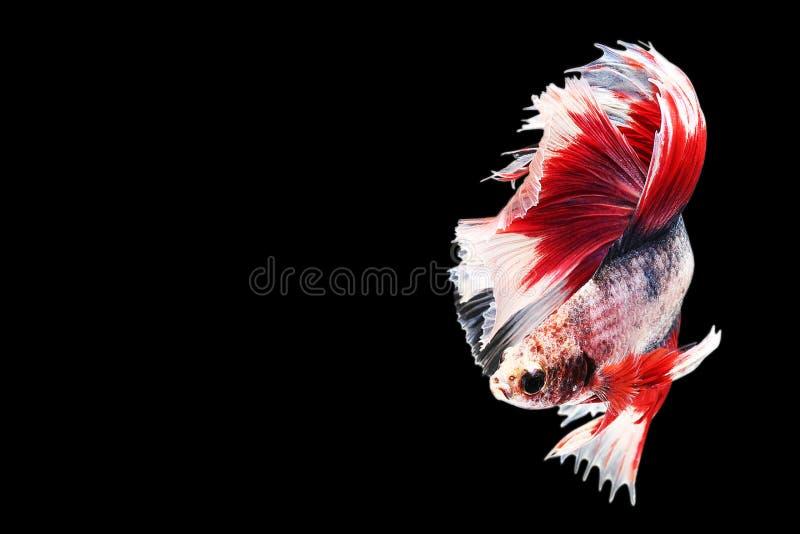 Siamesische kämpfende Fische getrennt auf schwarzem Hintergrund Farbe der Fische drei Betta Fische auf schwarzem Hintergrund Schw stockfoto
