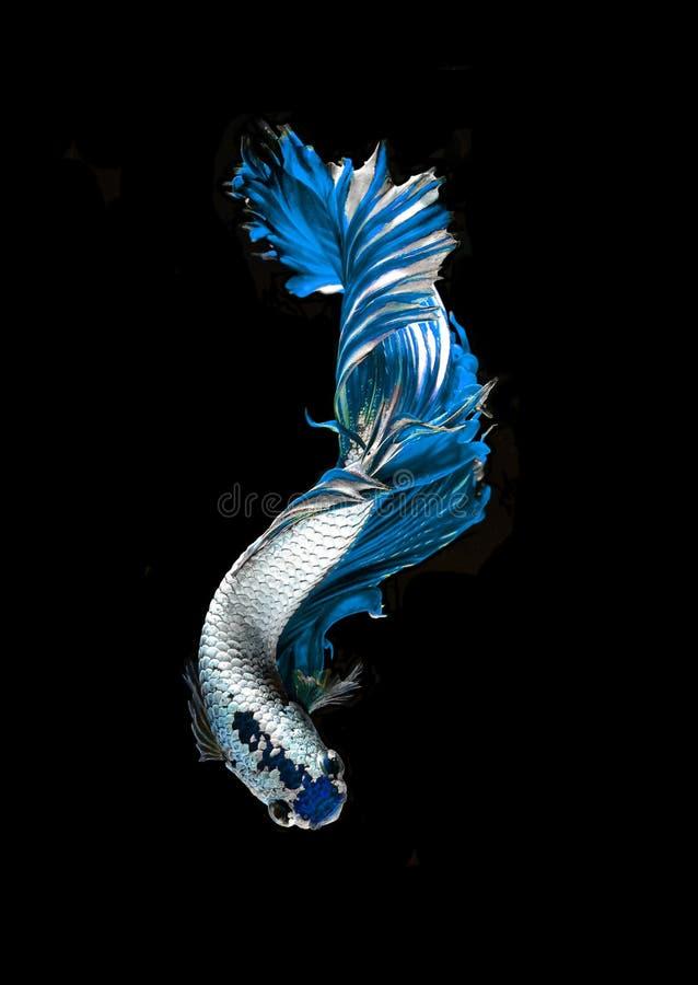 Siamesische k?mpfende Fische des blauen Drachen, betta Fische auf Schwarzem lizenzfreies stockbild