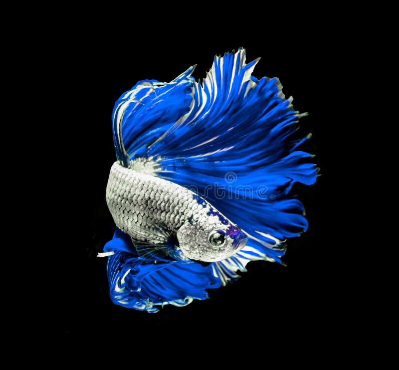Siamesische k?mpfende Fische des blauen Drachen, betta Fische lokalisiert auf Schwarzem stockbild