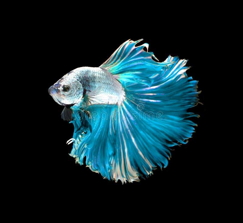 Siamesische k?mpfende Fische des blauen Drachen, betta Fische lokalisiert auf Schwarzem stockbilder