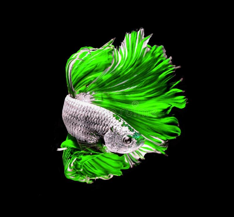 Siamesische k?mpfende Fische des gr?nen Drachen, betta Fische lokalisiert auf Schwarzem stockbilder