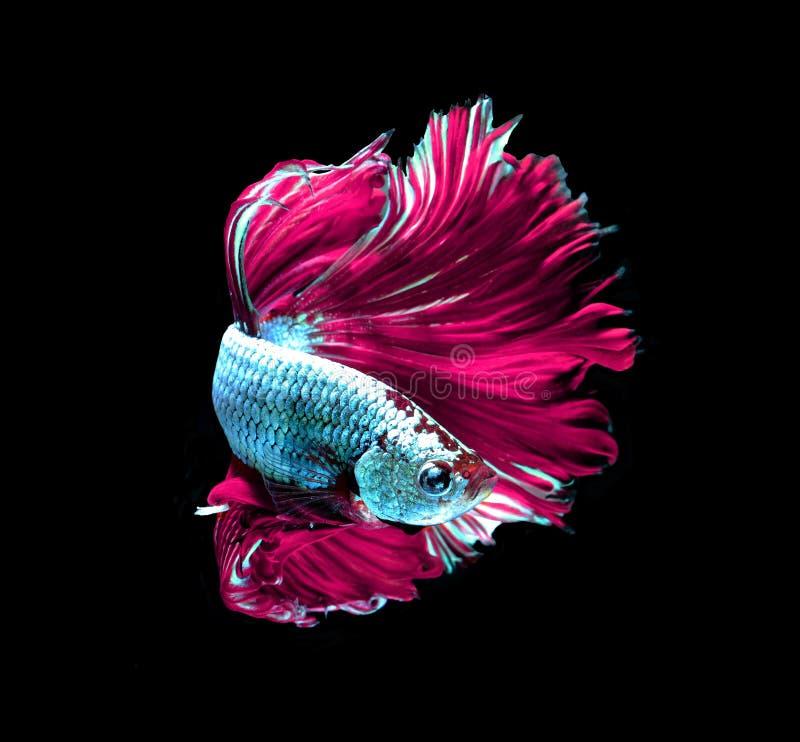 Siamesische k?mpfende Fische des rosa Drachen, betta Fische lokalisiert auf Schwarzem stockfoto