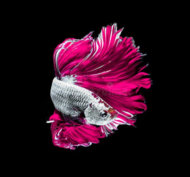 Siamesische k?mpfende Fische des rosa Drachen, betta Fische lokalisiert auf Schwarzem stockfotografie