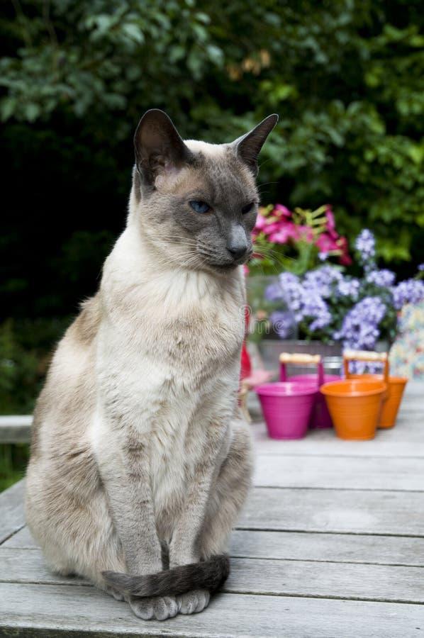 Siamesische Katze lizenzfreies stockfoto