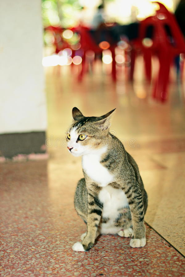 Siamesische Katze lizenzfreie stockfotos