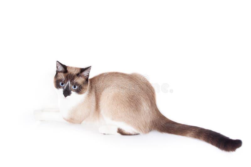 Siamesische Katze auf dem wei?en Hintergrund Siamesische Katze lizenzfreie stockfotos