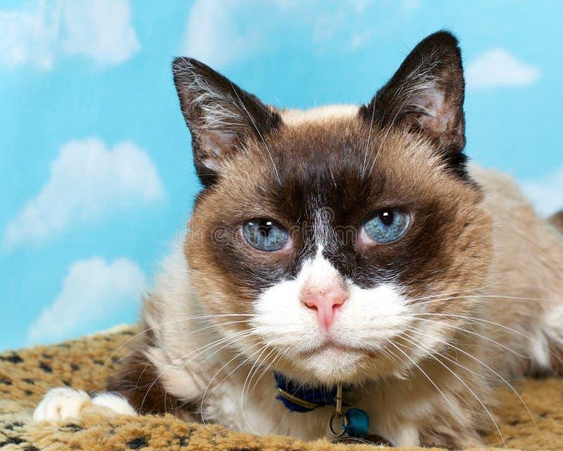 Siamesische Katze des Porträtschokoladenpunktes lizenzfreie stockfotos